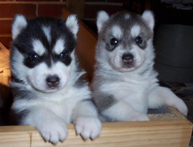 Image Result For Baby Siberian Husky For Sale