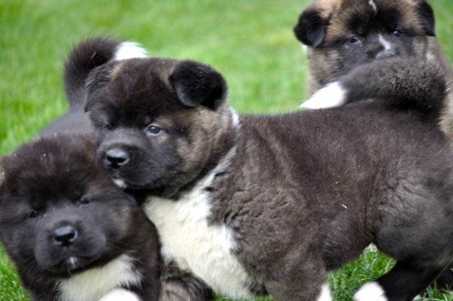Akita Inu Hund In Schweiz Akita Inu Welpen Kaufen Verkaufen