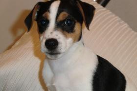 Jack Russell Terrier Hund In Schweiz Jack Russell Terrier Welpen Kaufen Verkaufen Schweiz Welpen Kaufen Jack Russell Terrier Schweiz Jack Russell Terrier Zuchter Kennel Welpen Kaufen Jack Russell Terrierg In Schweiz