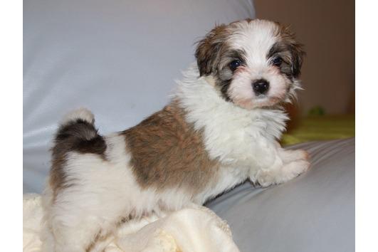 Havaneser Hund In Schweiz Havaneser Welpen Kaufen Verkaufen Schweiz Welpen Kaufen Havaneser Schweiz Havaneser Zuchter Kennel Welpen Kaufen Havaneserg In Schweiz