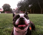 Boston TerrierBoston terrier welple mit nase