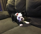 Boston Terrier  welpe ab 10 Monate