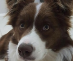 border collie welpe  braun