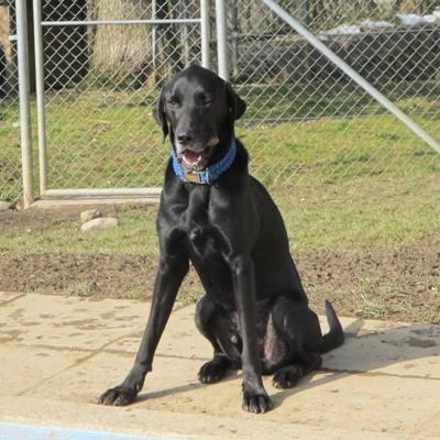 Erwachsene Labrador Retriever zum Verkauf