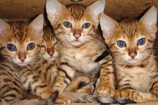 verkauf von katzen kitten verkaufen katze verkauf. Black Bedroom Furniture Sets. Home Design Ideas