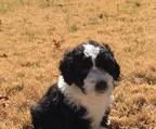 Spanischer Wasserhund Hund In Schweiz Spanischer Wasserhund Welpen Kaufen Verkaufen Schweiz Welpen Kaufen Spanischer Wasserhund Schweiz Spanischer Wasserhund Zuchter Kennel Welpen Kaufen Spanischer Wasserhundg In Schweiz