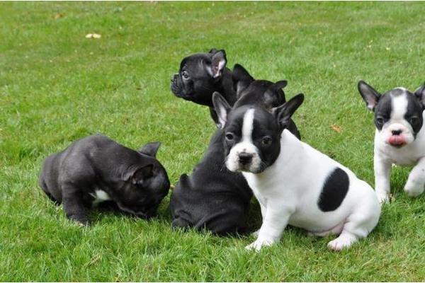 Franzosische Bulldogge Hund In Schweiz Franzosische Bulldogge