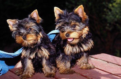 Yorkshire terrier in schweiz kaufen
