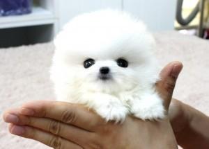 Husky Dogs For Sale Charlotte Nc
