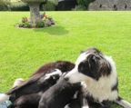 Prise Welpen  Border collie
