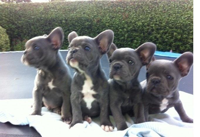 Bulldog Hund In Schweiz Bulldog Welpen Kaufen Amp Verkaufen