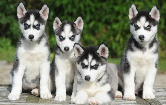 Alaskan Malamute Welpen Und Hunde Kaufen Dhd24 Com
