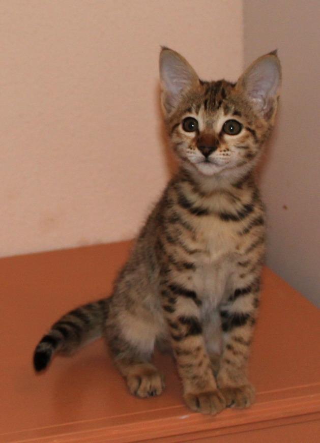 verkauf von katzen schweiz kitten verkaufen schweiz katze verkauf schweiz katzen. Black Bedroom Furniture Sets. Home Design Ideas